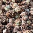 Agave Fruit Used to Produce Tequil(Mexico) — Stock Photo #9998965