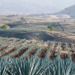 Agave field in Tequila, Jalisco (Mexico) — Stock Photo #9999077