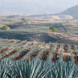 Stock Photo: Agave field in Tequila, Jalisco (Mexico)