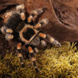Mexican Redknee spider — Stock Photo