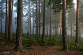 Forest at dusk — Stock Photo