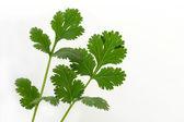 Fresh Cilantro Herb — Stock Photo