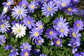 Anemone flower — Stock Photo