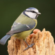 Blue Tit — Stock fotografie
