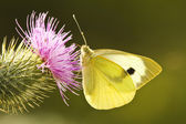 Large White Butterfly — Stock Photo