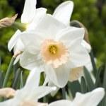 Нарцисс — Стоковое фото