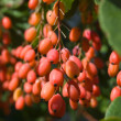 Barberry — Stock Photo #10266827