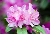 Rhododendron — Fotografia Stock