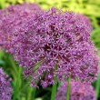 Allium gladiator — Stock Photo