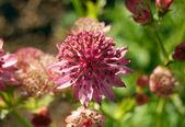 Allium — Stock Photo