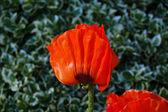 Poppie flower on green meadow — Stock Photo