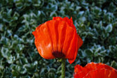Poppie flower on green meadow — Stock Photo