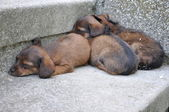Abandoned Three Little Puppies — Stock Photo