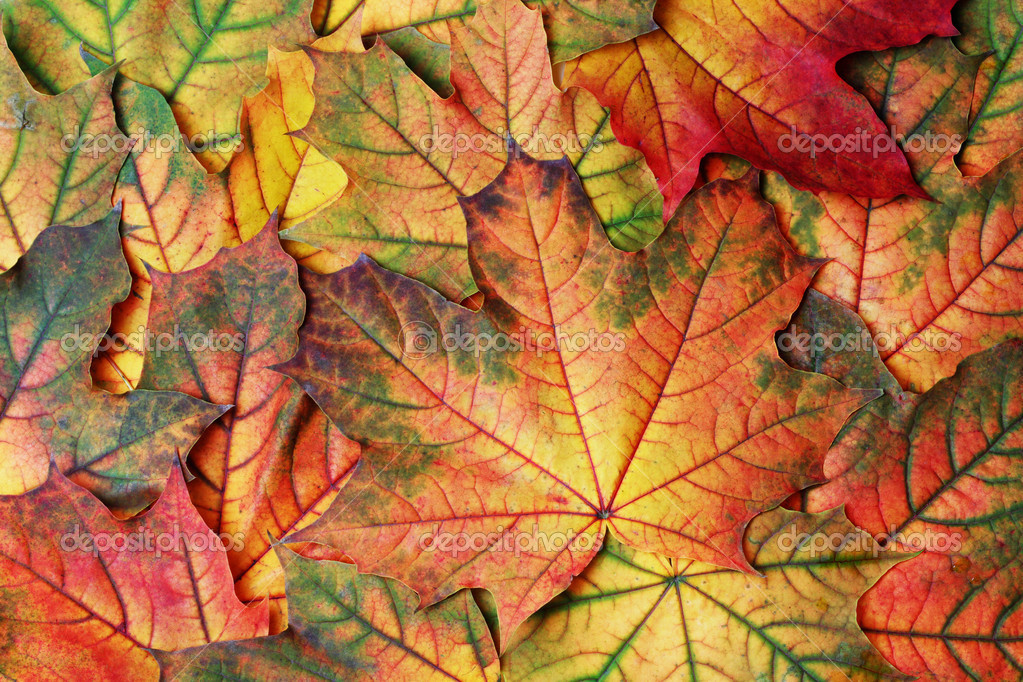 Background of bright colorful fall maple leaves — Stock Photo #8852706