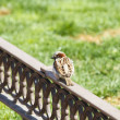 Urban sparrow on bronze fence - Stock Photo