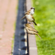 Street sparrow on little bronze fence - Photo