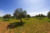 Field cultivation of olives, balsamic vinegar — Stock Photo