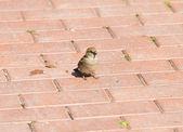 Wróbel (Passer domesticus) w ogrodzenie w słoneczny letni dzień — Zdjęcie stockowe