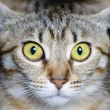 Common breed cat, with frightened eyes - Stock Photo