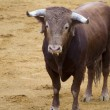 Stock Photo: Brown bull in spanish bullfighting arena