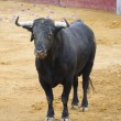 Powerful Spanish bull in a bullfight. Matador in Madrid bullring — Stock Photo
