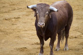 Brown bull in the spanish bullfighting arena — Stock Photo