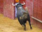 Powerful bull hitting the bullring barrier — Stock Photo