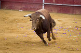 Brown bull attacking Spanish bullfighter — Stock Photo