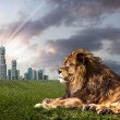 Powerful Lion resting at sunset. the king of the jungle — Stock Photo