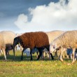 Royalty-Free Stock Photo: Sheeps in a meadow, black sheep