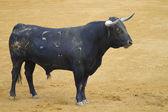 Potężny byk — Zdjęcie stockowe