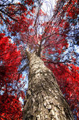 Red pine — Stock Photo
