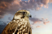 Beautiful Falcon contemplating sunset. — Stock Photo