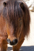 Picture of a nice poney. Brown hair. — Stock Photo