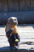 Monkey — Stok fotoğraf