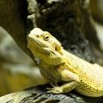 Lizard — Stock Photo #8711765