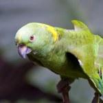Parrots — Stock Photo #8712575