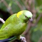 Parrots — Stock Photo #8712643