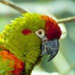 Parrots — Stock Photo #8712713