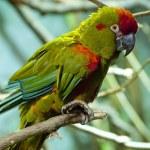 Parrots — Stock Photo #8712759