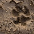 Wolf footprint - Stock Photo