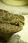 Rattlesnake — Stock Photo
