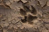 Wolf footprint — Stock Photo