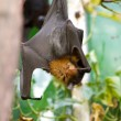 Sleeping giant bat — Stock Photo