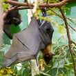 Stock Photo: Sleeping giant bat