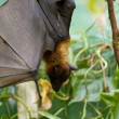 Sleeping giant bat — Stock Photo #8755747
