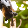 Sleeping giant bat — Stock Photo #8755839
