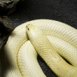 Albino Monocle Cobra — Stock Photo #8756305
