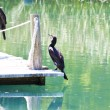 Black cormorant - Stock Photo