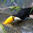 Beautiful tucan drinking water on jungle — Stock Photo